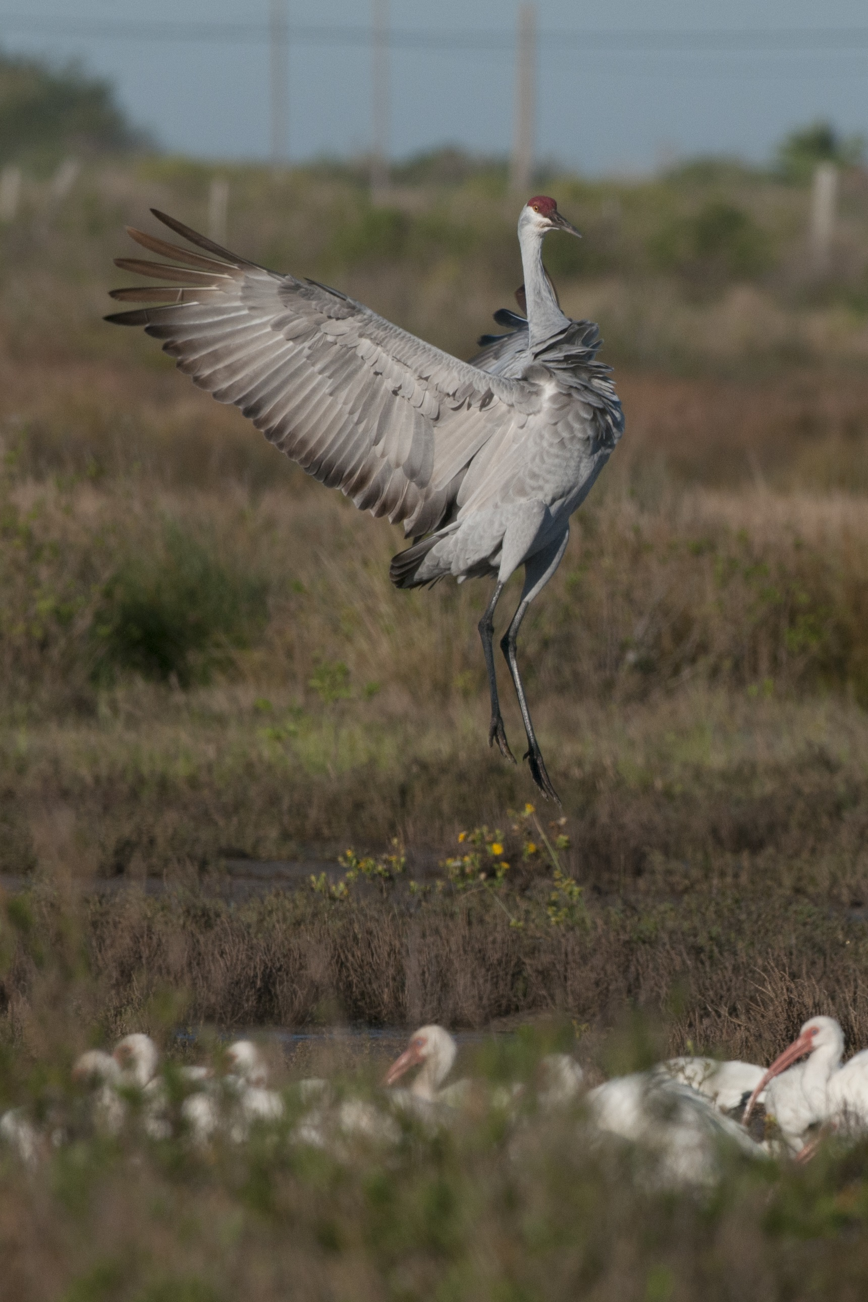 Loons And Turtles And Cranes Oh My >> Holiday With The Cranes Galveston Island Nature Tourism Council