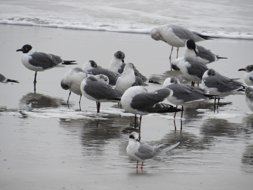Laughing Gulls and Forster's Tern