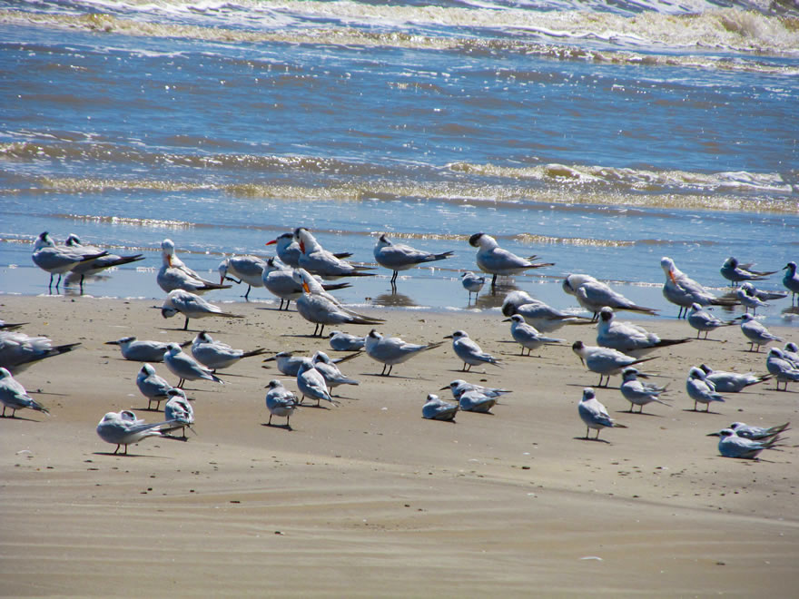 Terns Flock