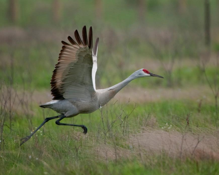 Sandhill Crane Taking Flight