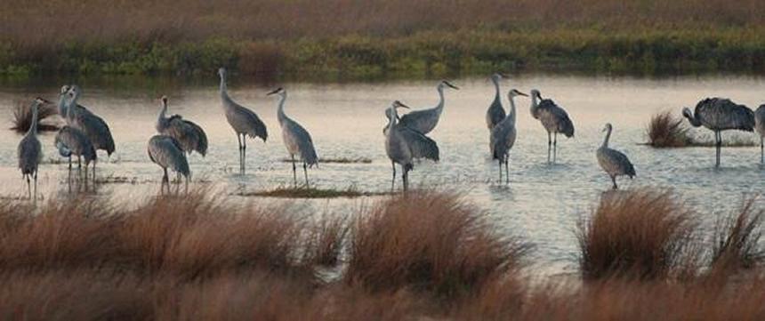 Sandhill Cranes Photo credit Barbara Rabek